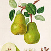 The D'auch Pear Art Print by William Hooker