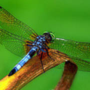 The Dragonfly Art Print