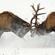 The Duel Of Fighting Elk Art Print