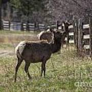 The Elk In Town Art Print