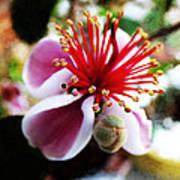 the Feijoa Blossom Art Print