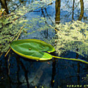 The Floating Leaf Of A Water Lily Art Print