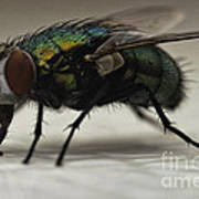 The Fly Macro Art Print