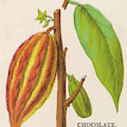 The Fruit Of The Cocoa (or  Chocolate) Art Print