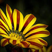 The Gazania Art Print