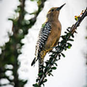 The Gila  Woodpecker Art Print