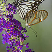 The Glasswing And A Friend  Art Print