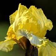 The Golden Iris Art Print