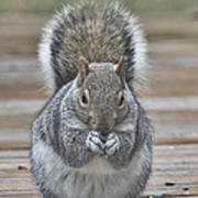 The Gray Squirrel Art Print