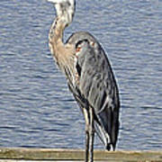 The Great Blue Heron Photo Art Print