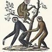 The Great Gibbon Art Print