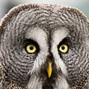 The Great Grey Owl  Art Print