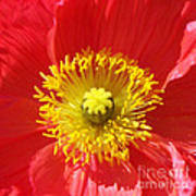 The Heart Of A Red Poppy Art Print