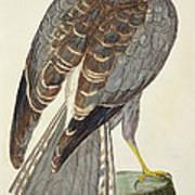 Hen Harrier Art Print