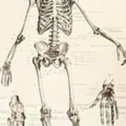 The Human Skeleton Art Print