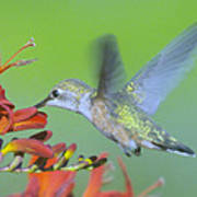 The Humming Bird Sips  Art Print by Jeff Swan