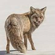 The Hungry Fox Art Print