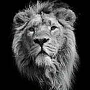 The King Asiatic Lion Art Print