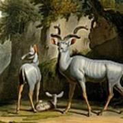 A Kudus Or Kudu Art Print