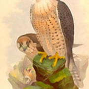 The Lanner Falcon Art Print
