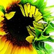 The Largest Sunflower In The Garden Summer Of 2013 Art Print