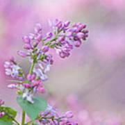 The Lilac Art Print