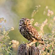 The Little Owl Art Print