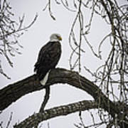The Majestic Eagle Art Print