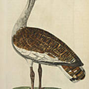 The Male Bustard Art Print
