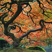 The Maple Tree At Portland Japanese Garden Art Print