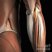 The Muscles Of The Elbow Rear Art Print