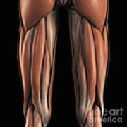 The Muscles Of The Upper Legs Rear Art Print