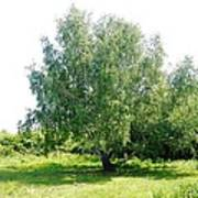 The Old Birch Tree Art Print