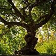 The Old Mango Tree Art Print