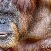 The Orangutan Album  Art Print