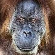 The Orangutan Album V4 Art Print