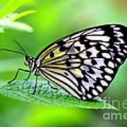 The Paper Kite Or Rice Paper Or Large Tree Nymph Butterfly Also Known As Idea Leuconoe 2 Art Print