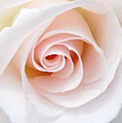 The Pastel Rose Art Print
