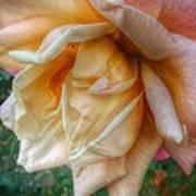 The Peach Rose Art Print