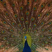 The Peacock 2 Art Print
