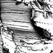 The Peeling Birch Art Print