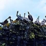 The Pelican Dance Art Print