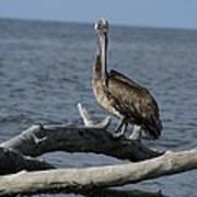 The Pelican Pose Art Print