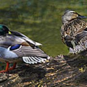 The Perfect Mallard Couple Art Print