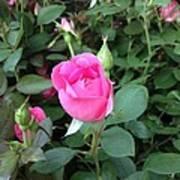 The Perfect Pink Rose 2 Art Print