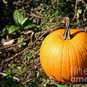 The Perfect Pumpkin In The Patch Art Print