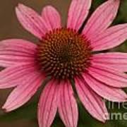 The Pink Daisy Art Print