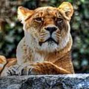 The Pondering Lioness Art Print