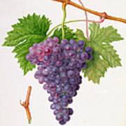 The Poonah Grape Art Print