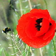 The Poppy And The Bee Art Print